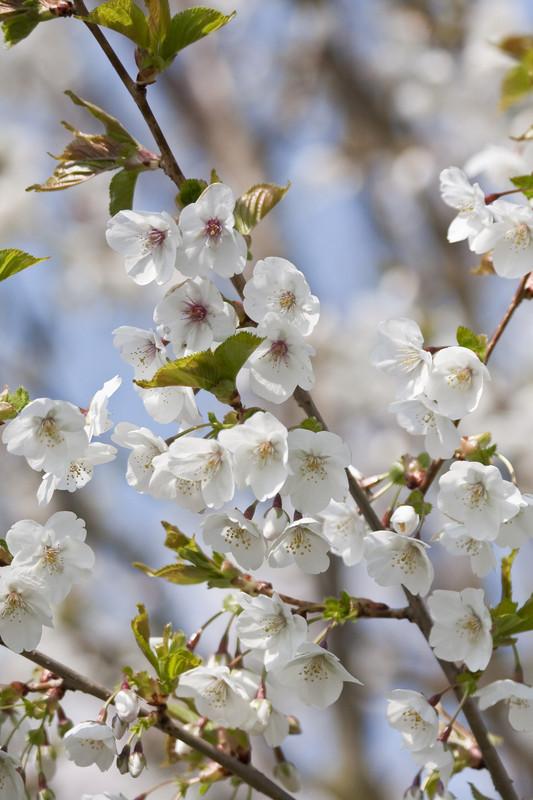 cherry 'Umineko'