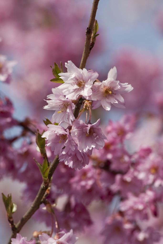 winter-flowering cherry 'Fukubana'