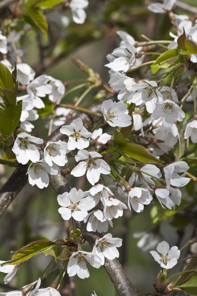 Yoshino cherry 'Shidare-Yoshino'