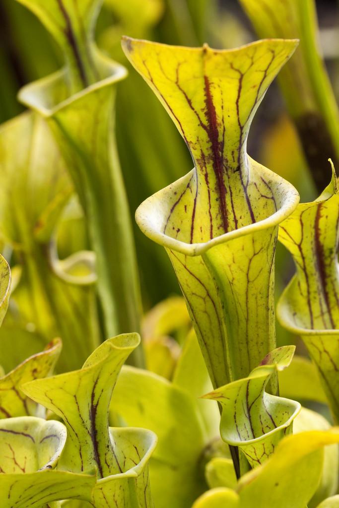<i>Sarracenia flava</i>