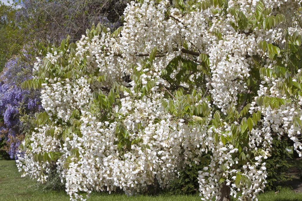 silky wisteria