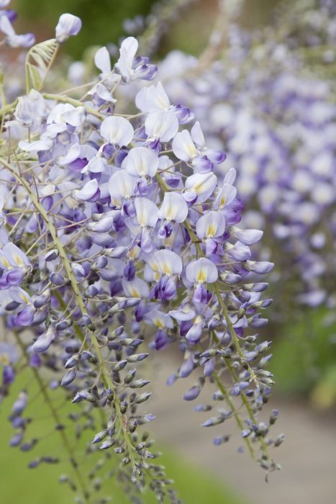 Japanese wisteria 'Domino'