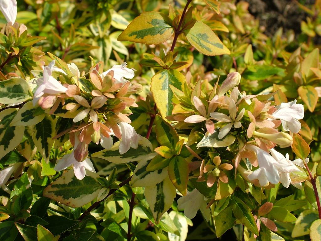 abelia x grandiflora 39 kaleidoscope 39 pbr v abelia 39 kaleidoscope 39 rhs gardening. Black Bedroom Furniture Sets. Home Design Ideas