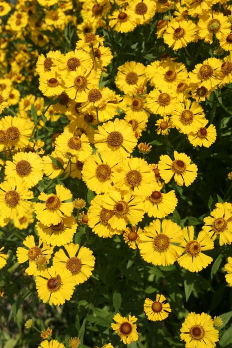 sneezeweed 'The Bishop'