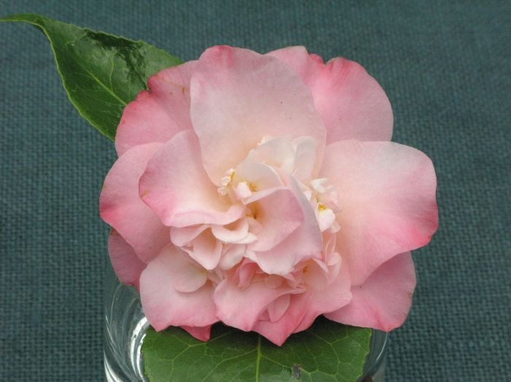 camellia 'Ballet Dancer'