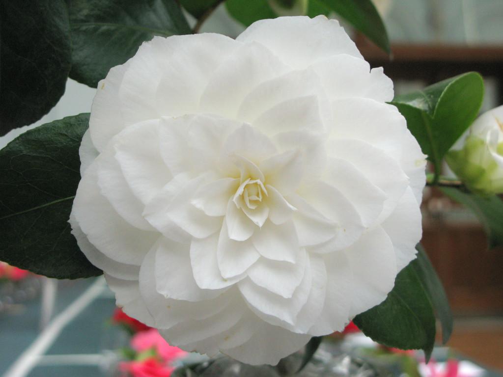 camellia 'Nuccio's Gem'