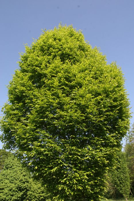 common hornbeam 'Columnaris'