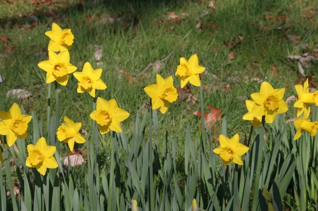 daffodil 'Saint Keverne'