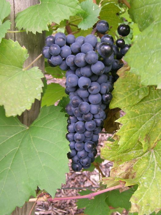 grape 'Léon Millot'