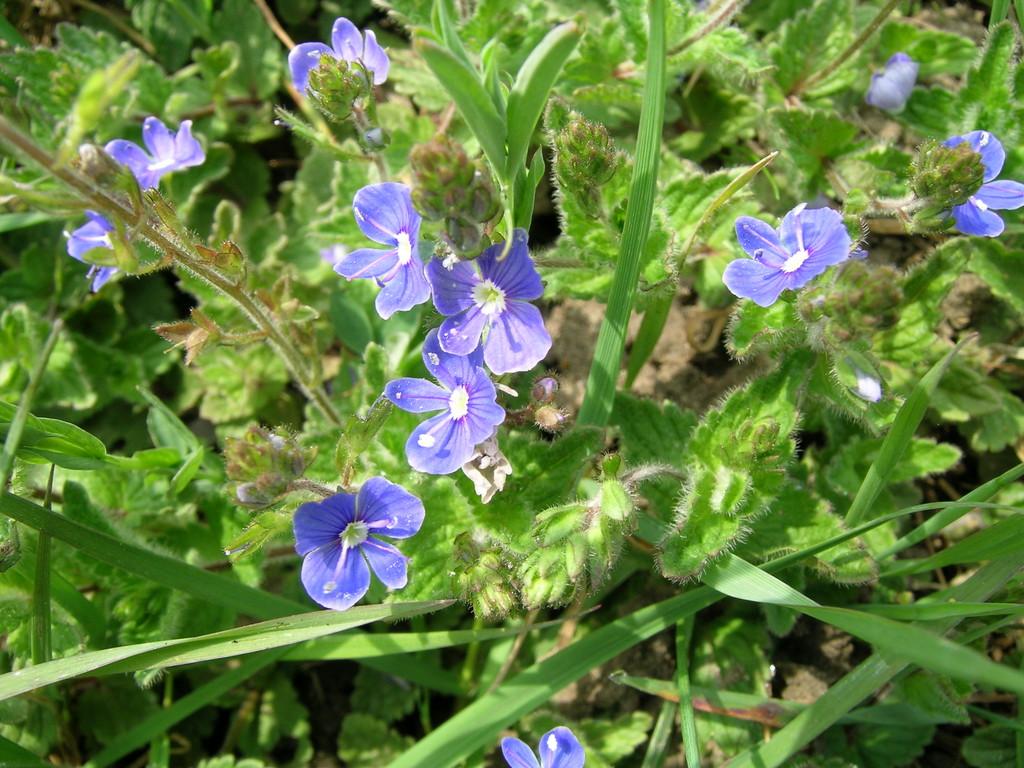 Rhs advice tips on garden indoor plants plant finder germander speedwell izmirmasajfo