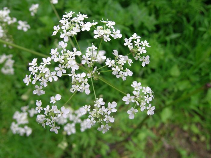 <i>Anthriscus sylvestris</i>