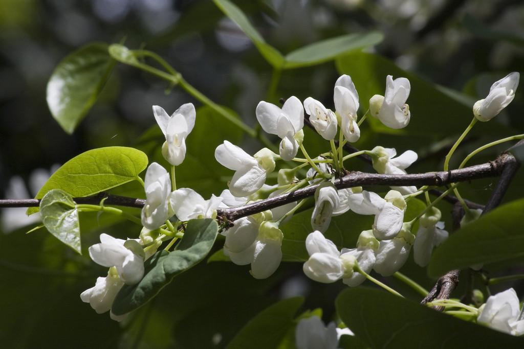 Judas tree white-form