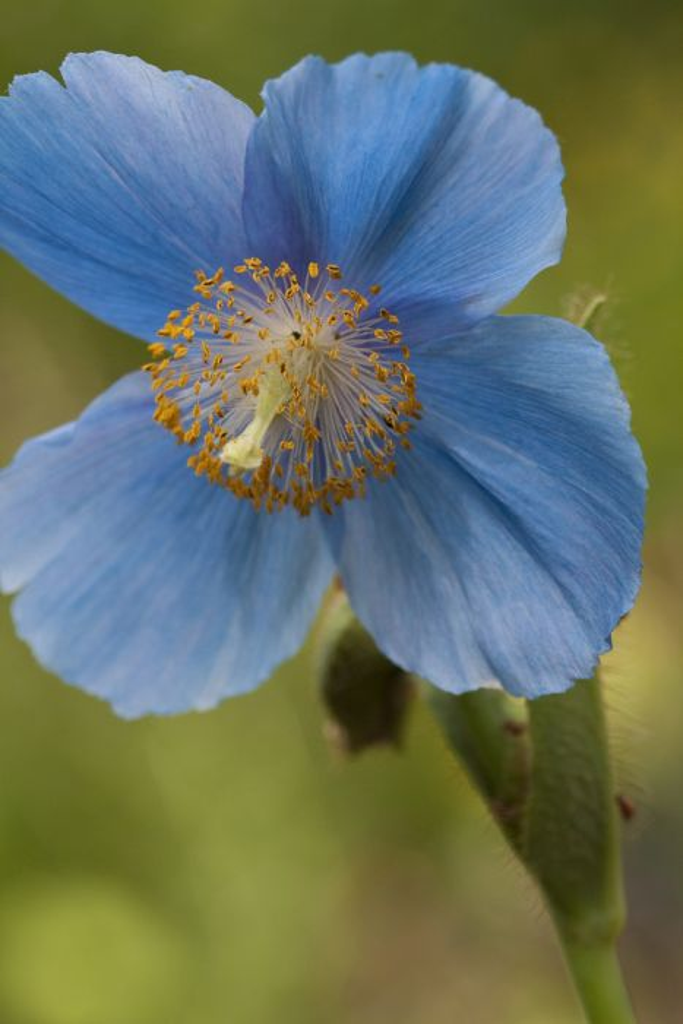 Himalayan blue poppy 'Lingholm'