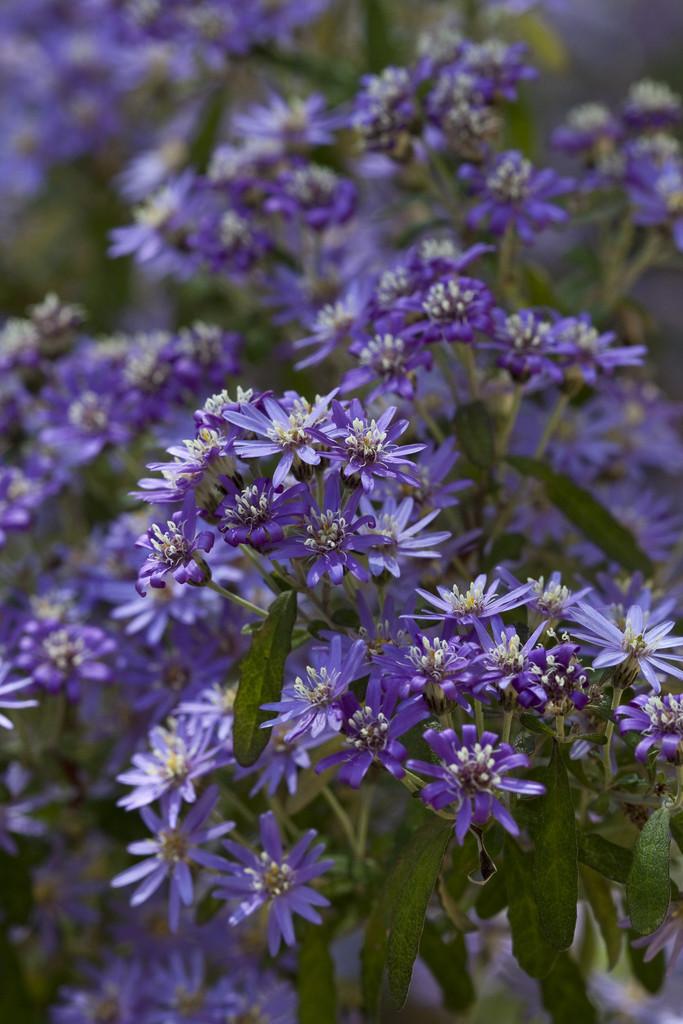 dusty daisy bush 'Comber's Blue'
