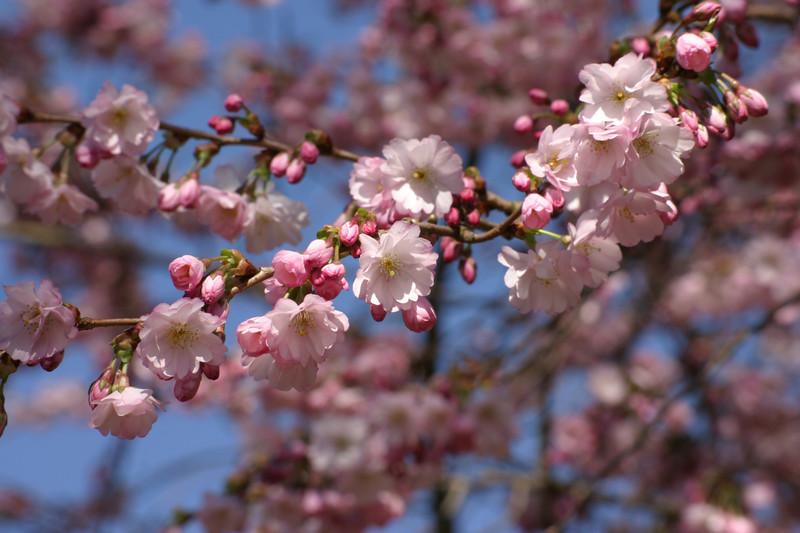 cherry 'Accolade'