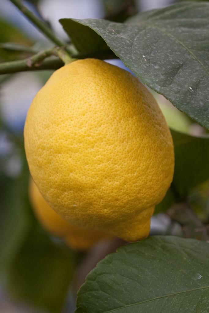 lemon 'Garey's Eureka'