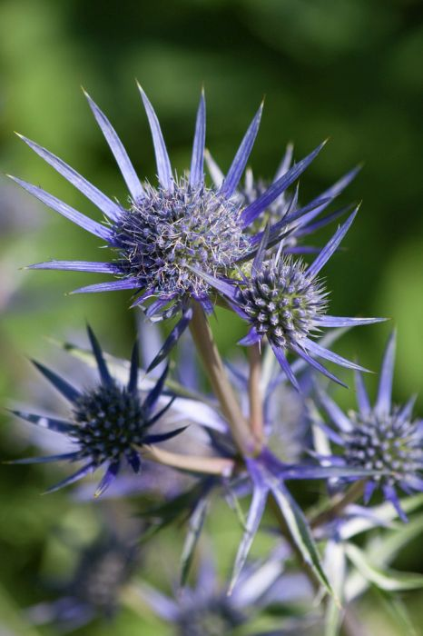 Mediterranean sea holly