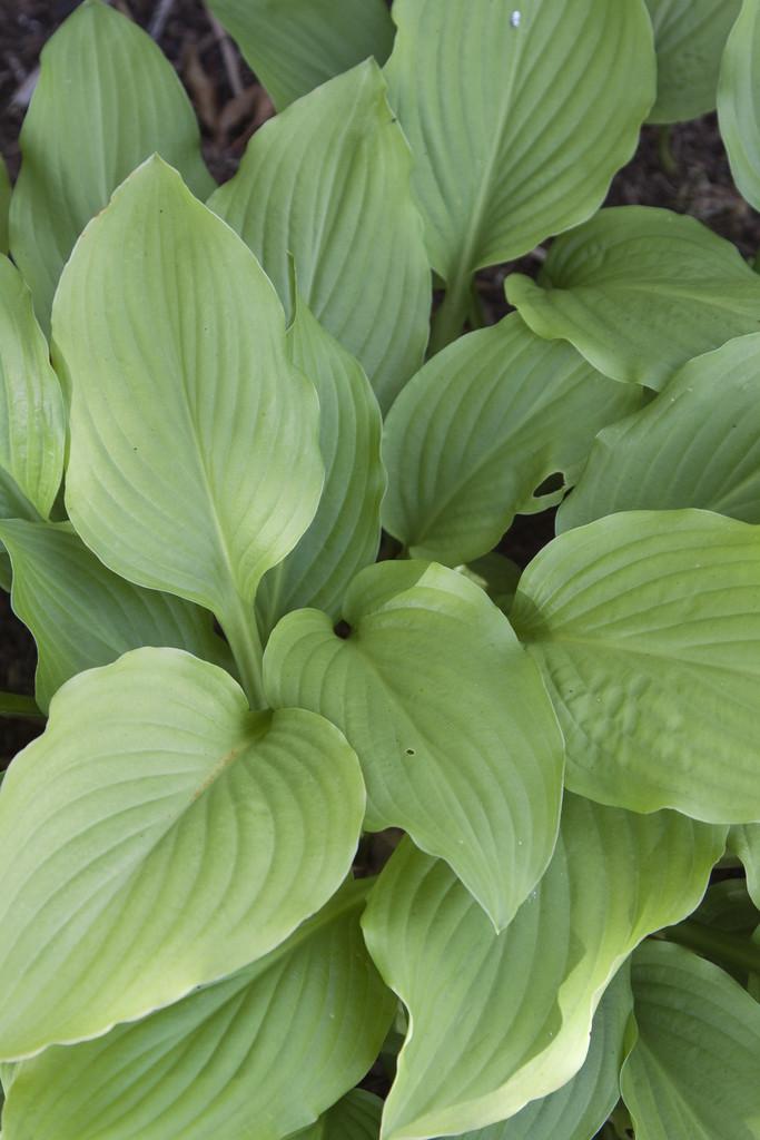Hosta Honeybells Plantain Lily Honeybellsrhs Gardening