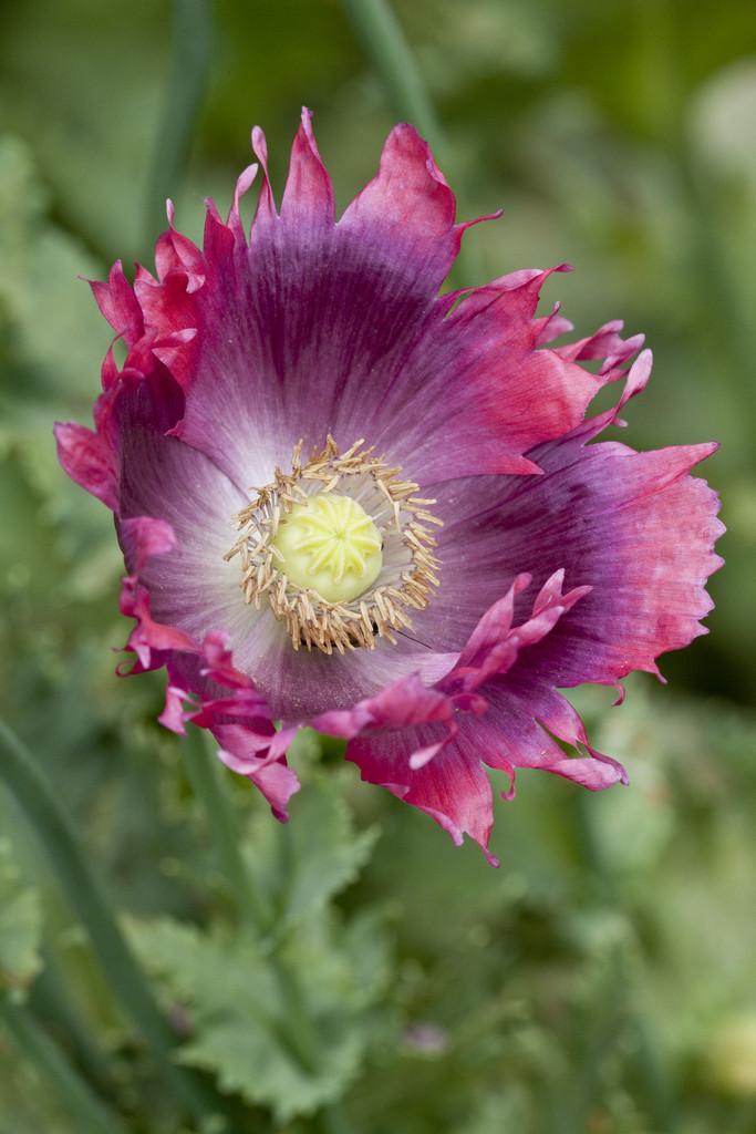 Papaver somniferum opium poppyrhs gardening opium poppy mightylinksfo