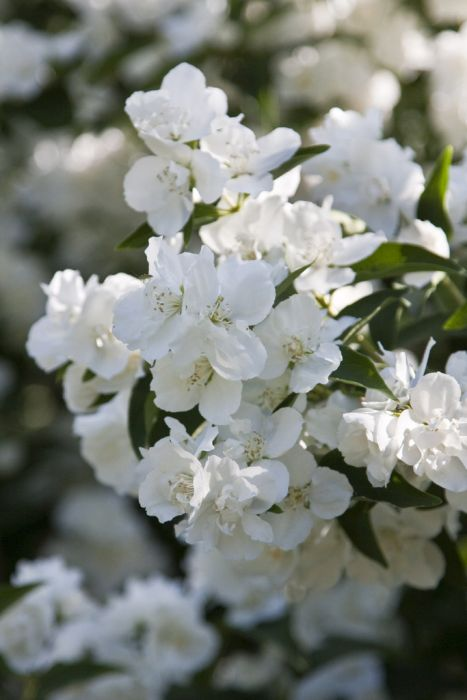 mock orange 'Dame Blanche'