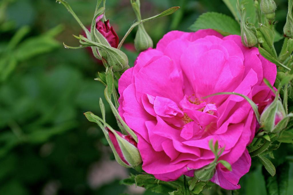 rose [Wilde Edric]
