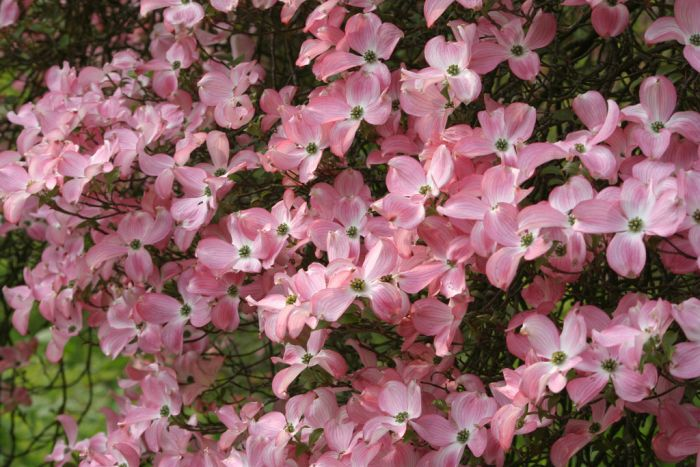 eastern flowering dogwood red-form