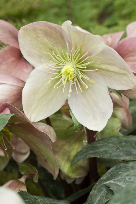 hellebore 'Winter Sunshine'