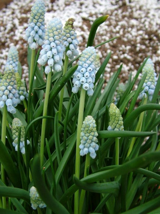 grape hyacinth 'Jenny Robinson'