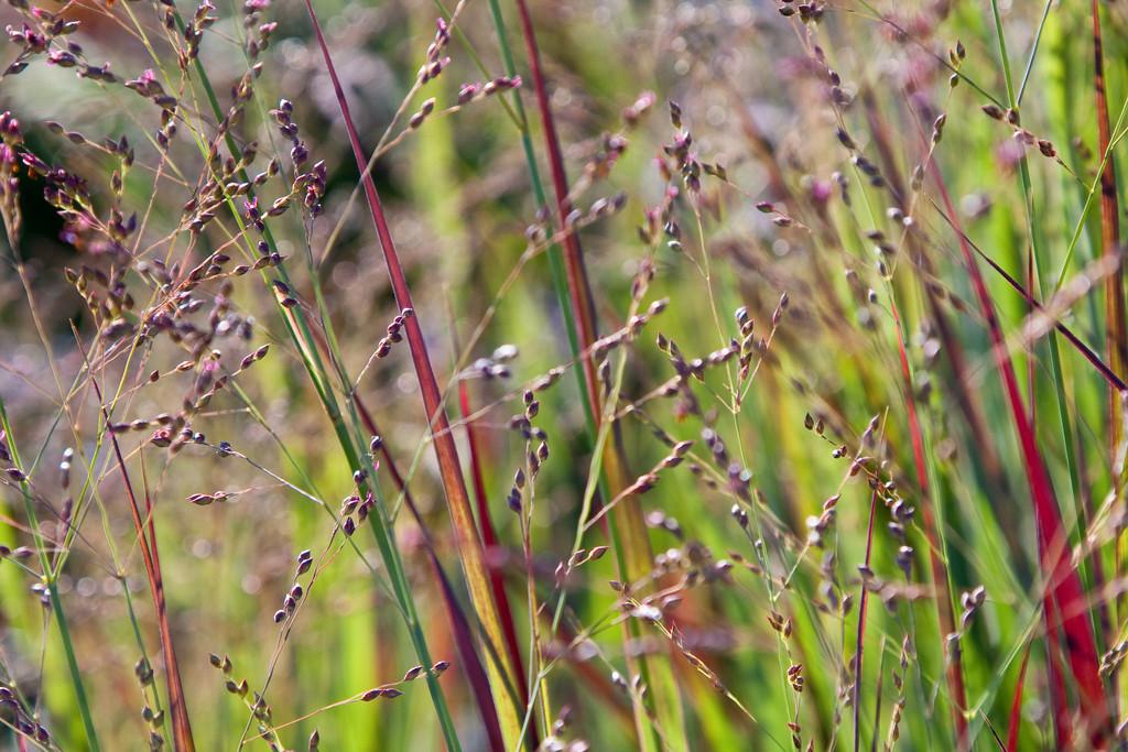 switch grass 'Heiliger Hain'
