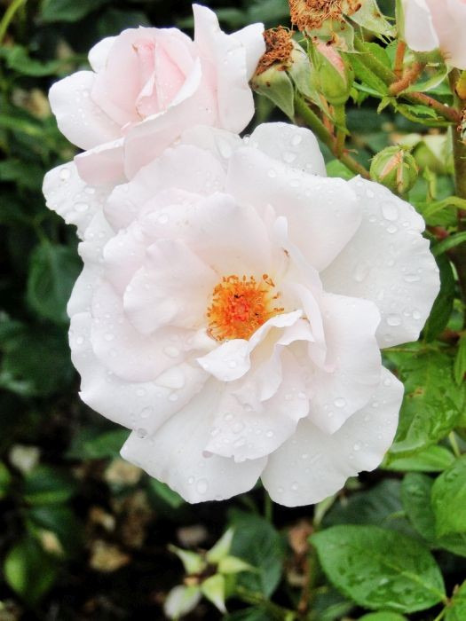 rose [A Whiter Shade of Pale]
