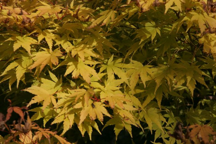 coral-bark maple