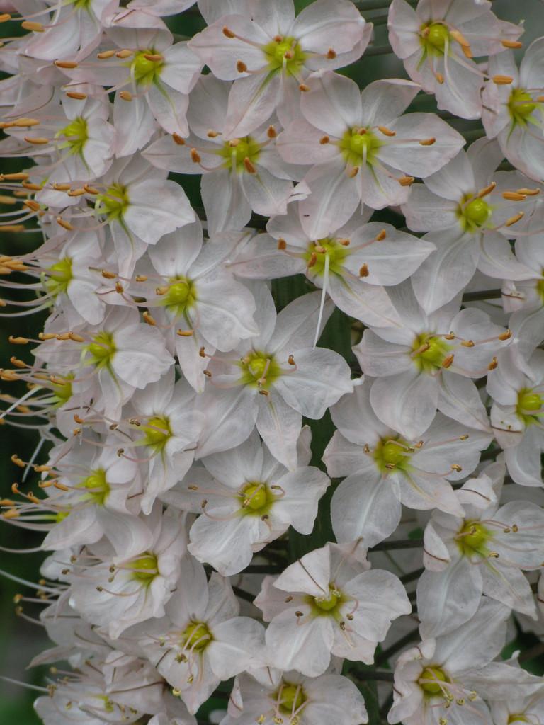 Himalayan foxtail lily
