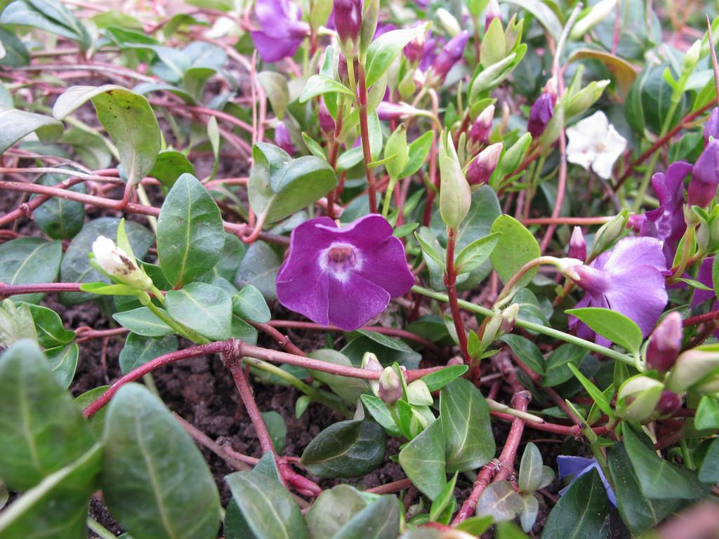 dark purple-flowered periwinkle