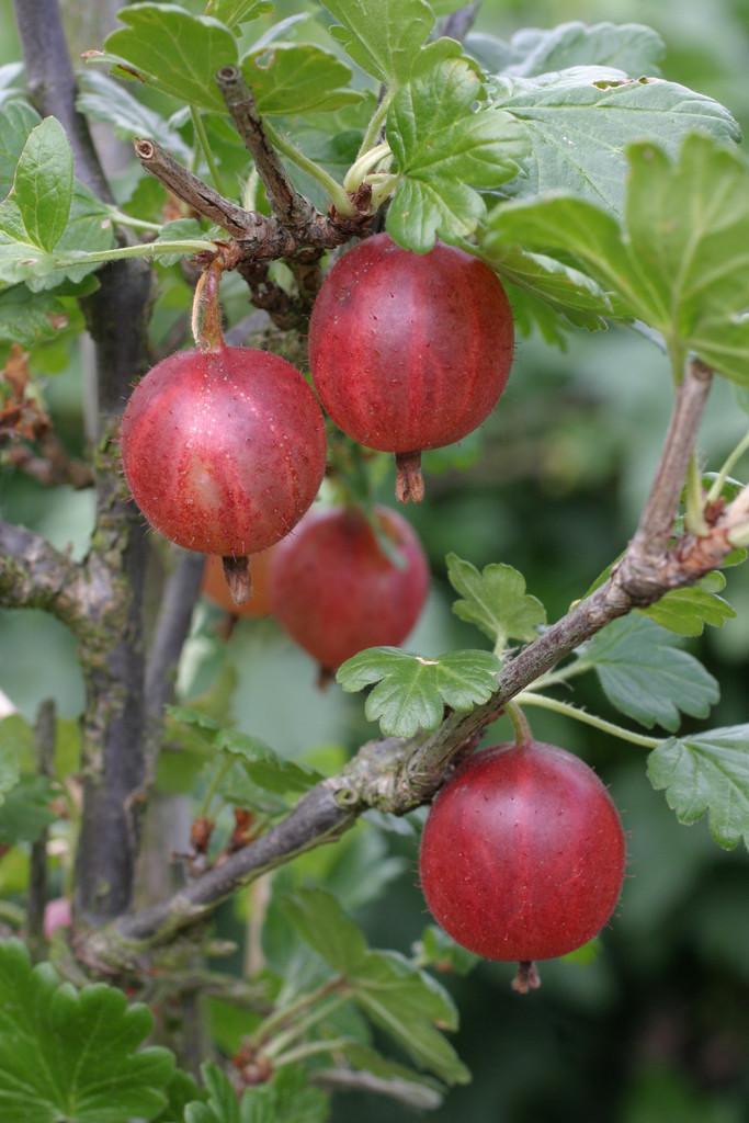 gooseberry 'Pax'