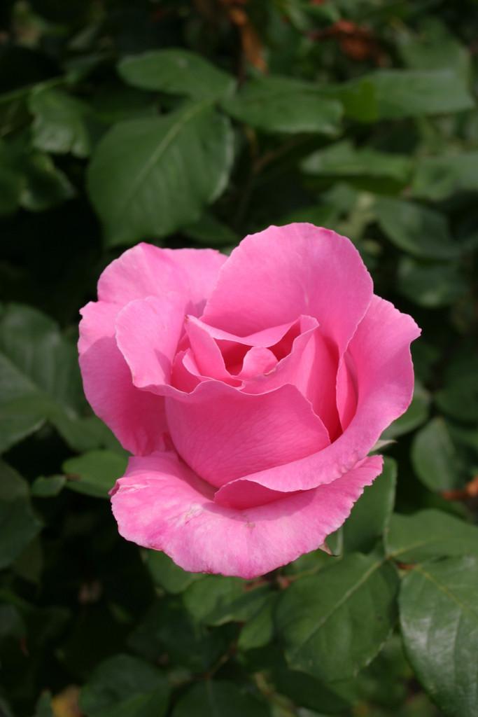 rose [The McCartney Rose]