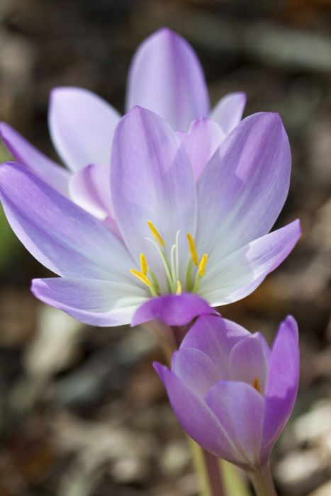 giant meadow saffron 'Atrorubens'