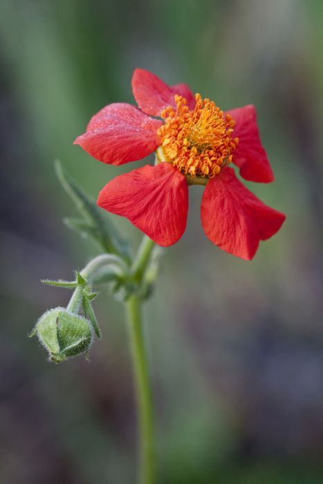 dwarf orange avens