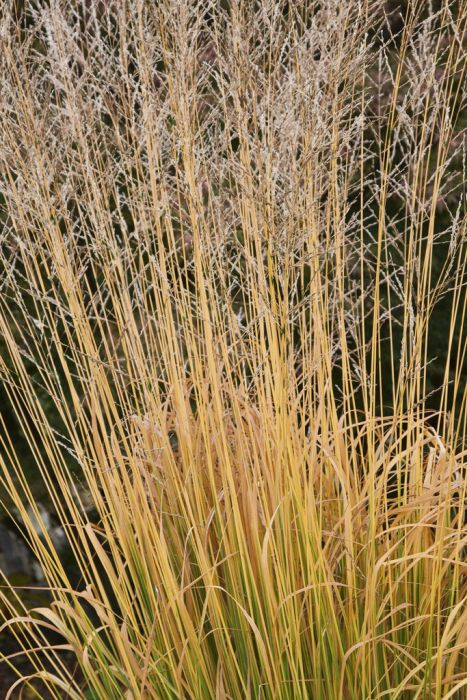 purple moor-grass 'Windspiel'