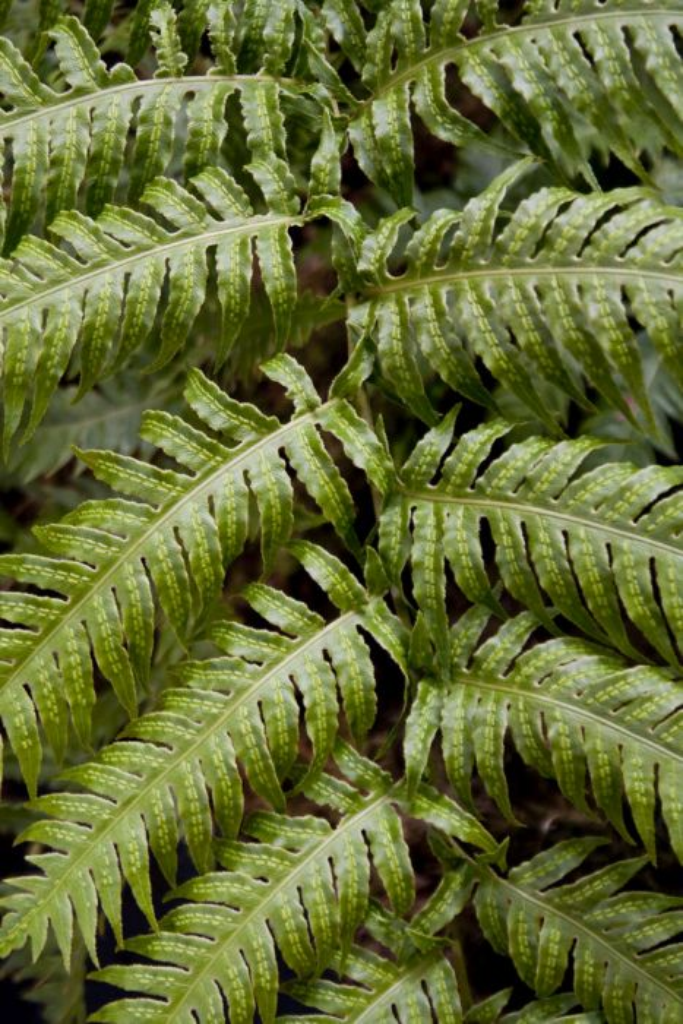 European chain fern