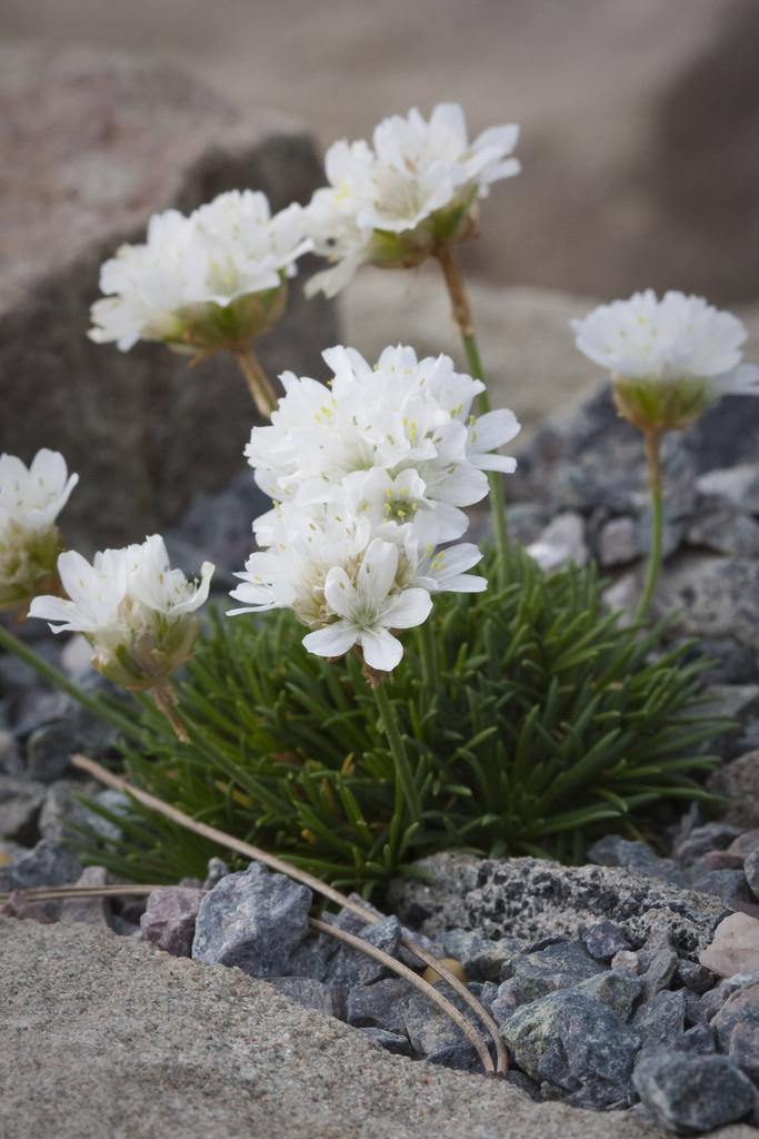 white juniper-leaved thrift