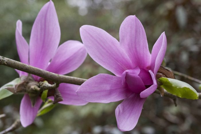 magnolia 'Caerhays Surprise'