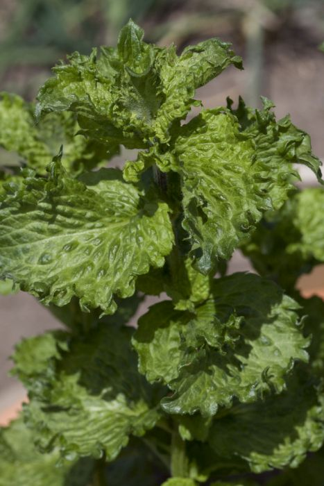 curly spearmint