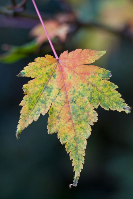 small-leaved maple