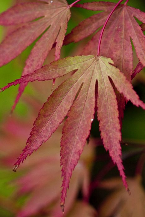 Japanese maple 'Chitose-yama