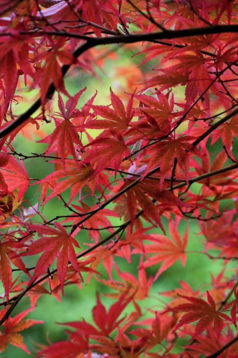 Japanese maple 'Shojo-shidare'