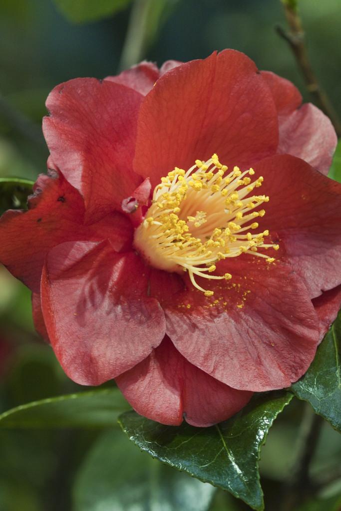 camellia 'San Dimas'