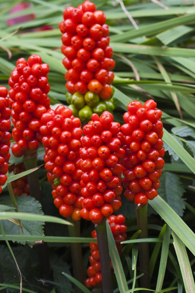 Arum Maculatum Lords And Ladies Rhs Gardening