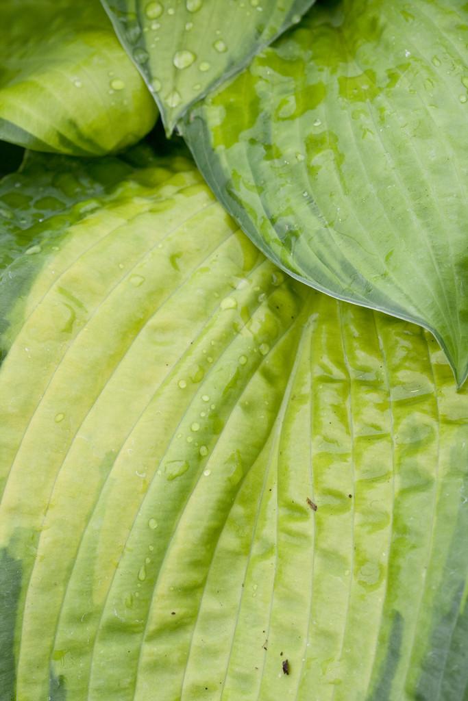 plantain lily 'Paradigm'