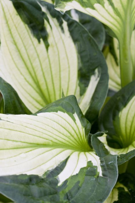 plantain lily 'Whirlwind'