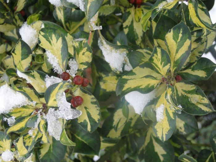 holly 'Ripley Gold'